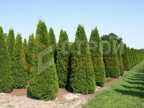 Туя западная 'Brabant' Thuja occidentalis 'Brabant'